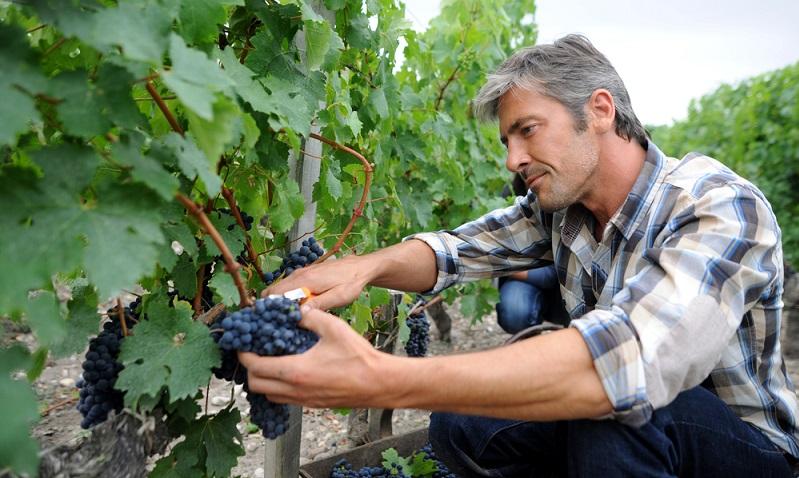 Trauben pflücken, Körbe tragen oder Körbe entleeren – es gibt vielzählige Möglichkeiten. ( Foto: Shutterstock-goodluz)